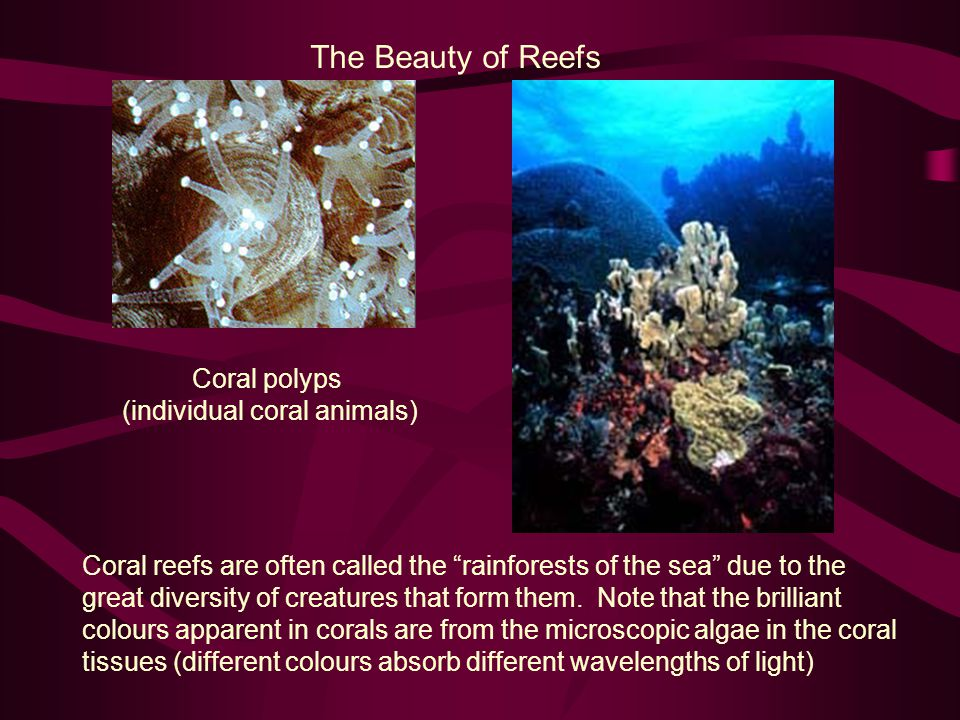 The Beauty of Reefs Coral polyps (individual coral animals) Coral reefs are often called the rainforests of the sea due to the great diversity of creatures that form them.