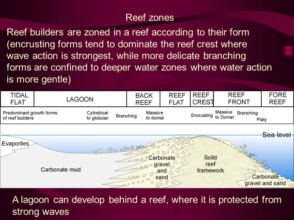 Reef builders are zoned in a reef according to their form (encrusting forms tend to dominate the reef crest where wave action is strongest, while more delicate branching forms are confined to deeper water zones where water action is more gentle) Reef zones A lagoon can develop behind a reef, where it is protected from strong waves