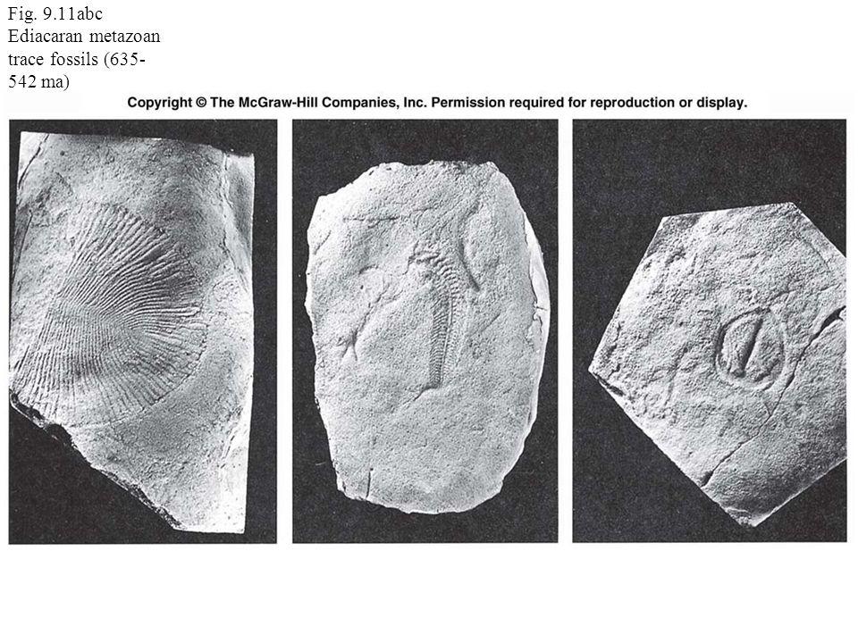 Fig. 9.11abc Ediacaran metazoan trace fossils (635- 542 ma)