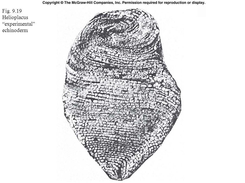 Fig. 9.19 Helioplacus experimental echinoderm