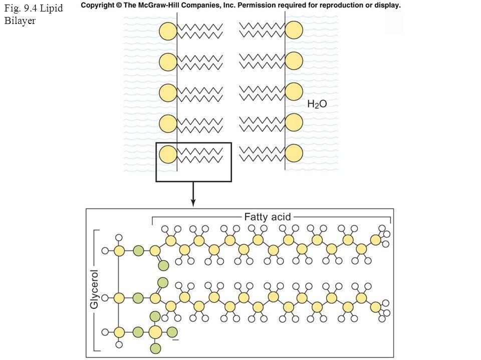 Fig. 9.4 Lipid Bilayer