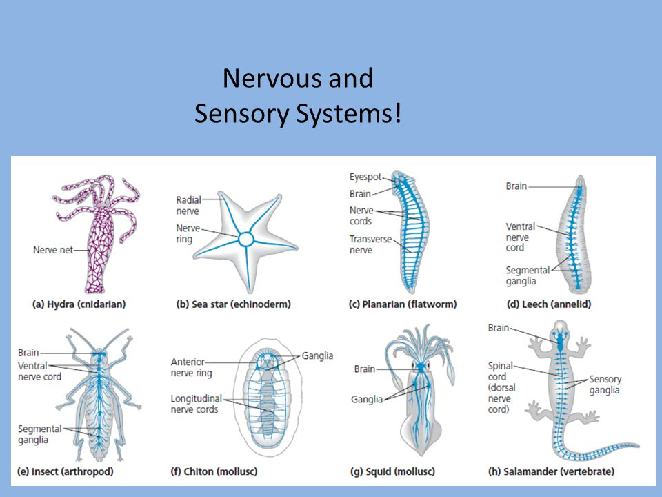 Nervous and Sensory Systems!