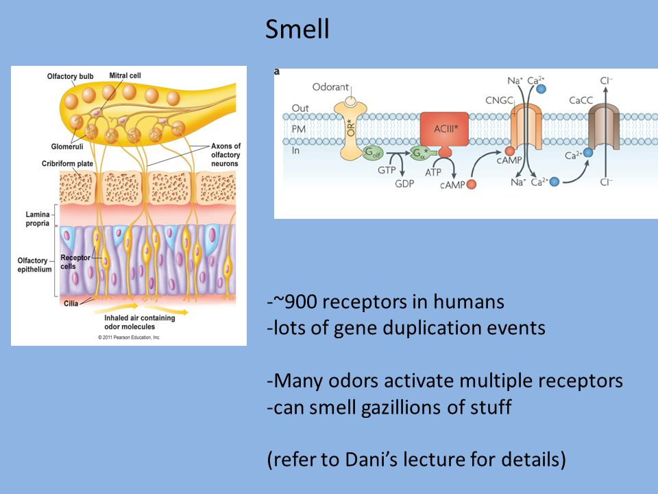 Smell -~900 receptors in humans -lots of gene duplication events -Many odors activate multiple receptors -can smell gazillions of stuff (refer to Dani's lecture for details)