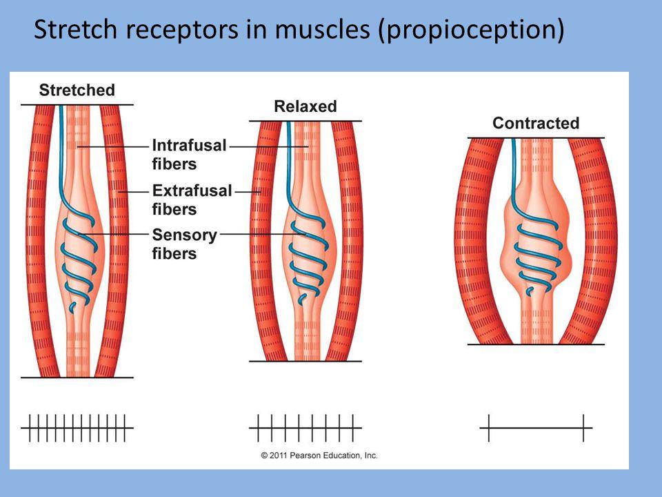 Stretch receptors in muscles (propioception) Oligod