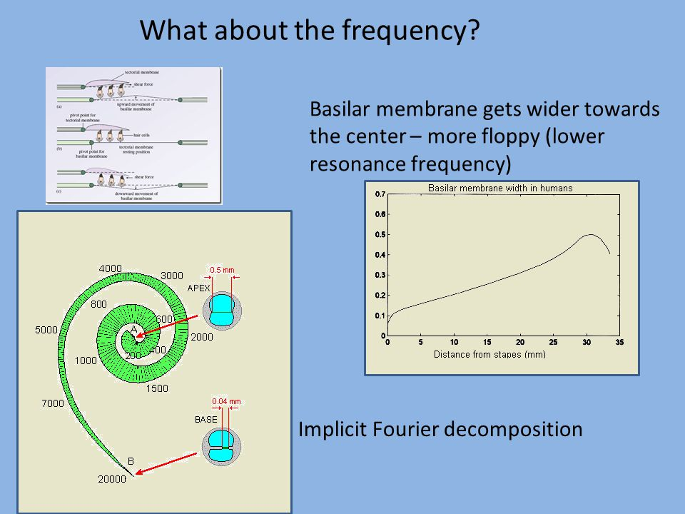What about the frequency? Basilar membrane gets wider towards the center – more floppy (lower resonance frequency) Implicit Fourier decomposition