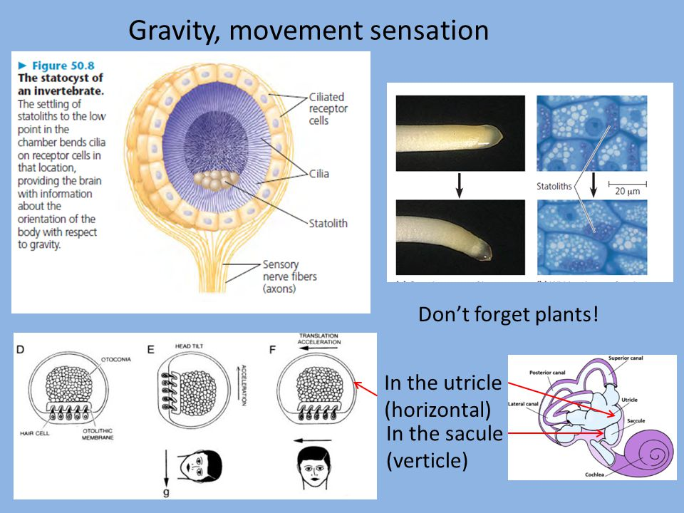 Gravity, movement sensation Don't forget plants! In the sacule (verticle) In the utricle (horizontal)