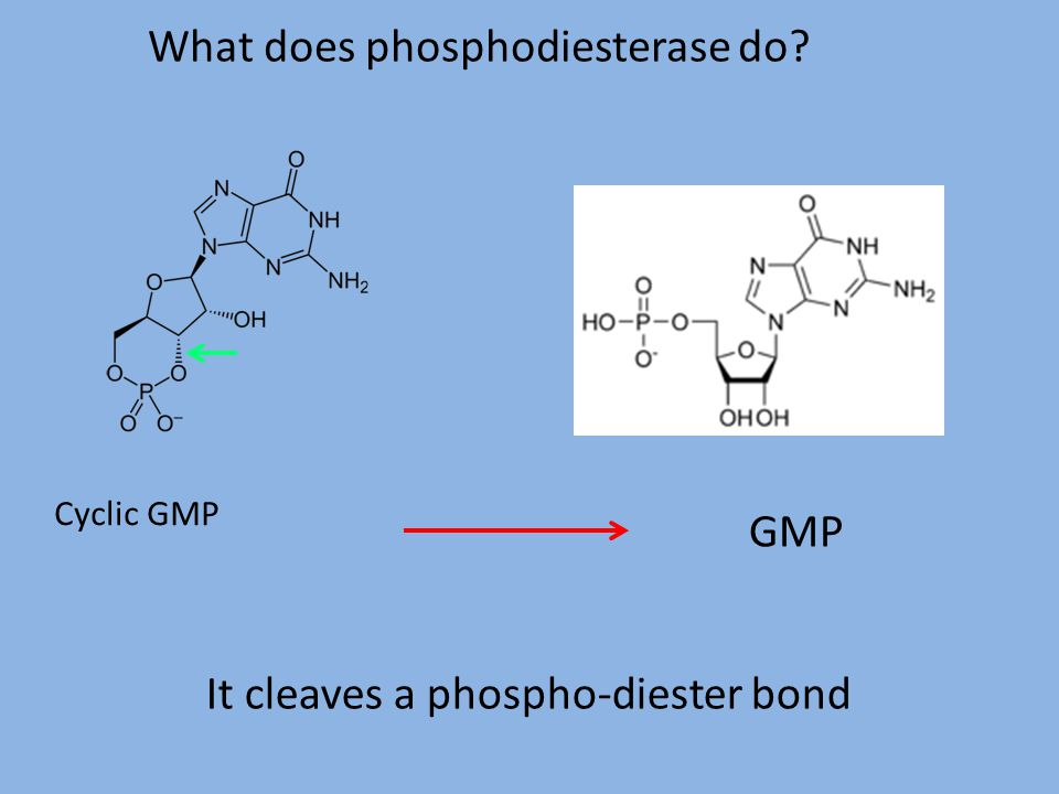 What does phosphodiesterase do? Cyclic GMP GMP It cleaves a phospho-diester bond