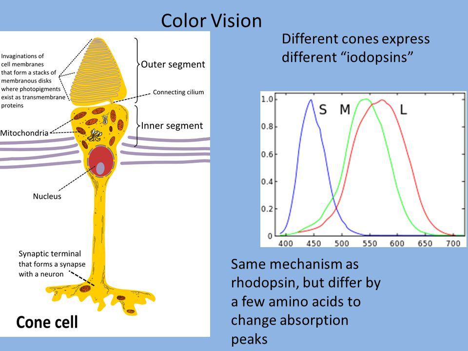 Color Vision Different cones express different iodopsins Same mechanism as rhodopsin, but differ by a few amino acids to change absorption peaks