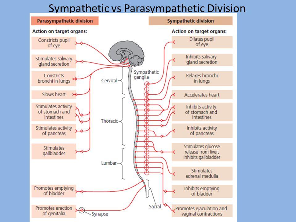 Sympathetic vs Parasympathetic Division