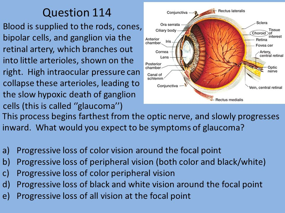 Question 114 Blood is supplied to the rods, cones, bipolar cells, and ganglion via the retinal artery, which branches out into little arterioles, shown on the right.
