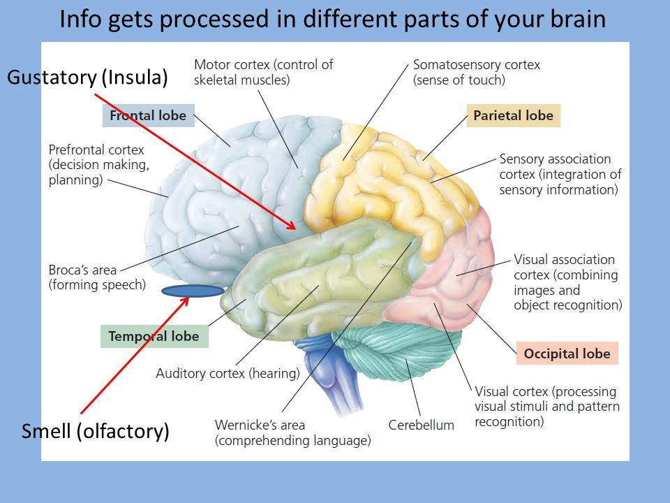 Info gets processed in different parts of your brain Gustatory (Insula) Smell (olfactory)