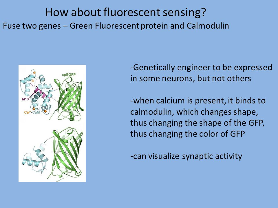 How about fluorescent sensing? Fuse two genes – Green Fluorescent protein and Calmodulin -Genetically engineer to be expressed in some neurons, but no