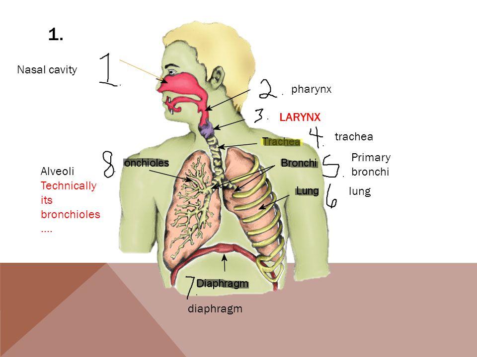 1. Nasal cavity pharynx LARYNX trachea Primary bronchi lung diaphragm Alveoli Technically its bronchioles ….