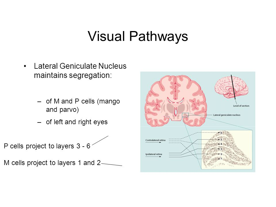 Visual Pathways Lateral Geniculate Nucleus maintains segregation: –of M and P cells (mango and parvo) –of left and right eyes P cells project to layers 3 - 6 M cells project to layers 1 and 2