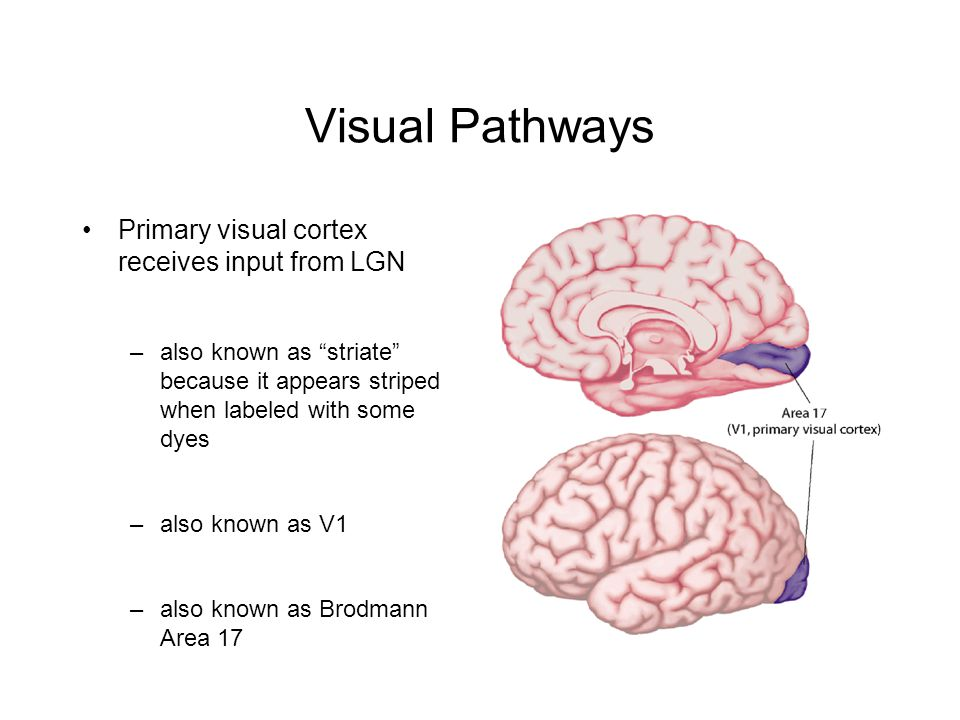 Visual Pathways Primary visual cortex receives input from LGN –also known as striate because it appears striped when labeled with some dyes –also known as V1 –also known as Brodmann Area 17