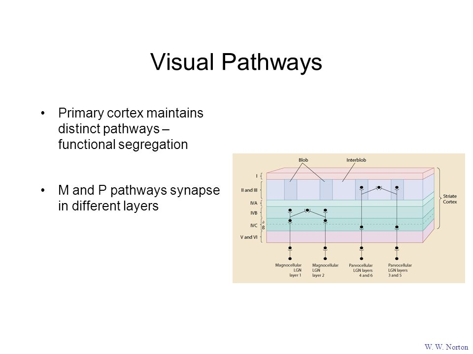 Visual Pathways W. W.