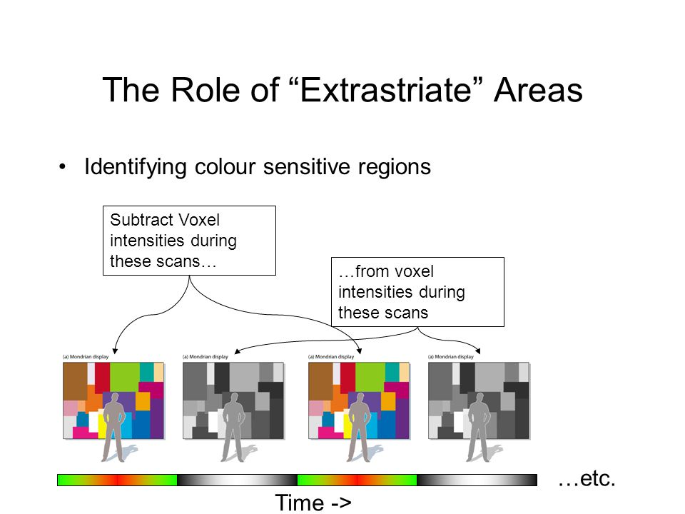The Role of Extrastriate Areas Identifying colour sensitive regions Subtract Voxel intensities during these scans… …from voxel intensities during these scans …etc.