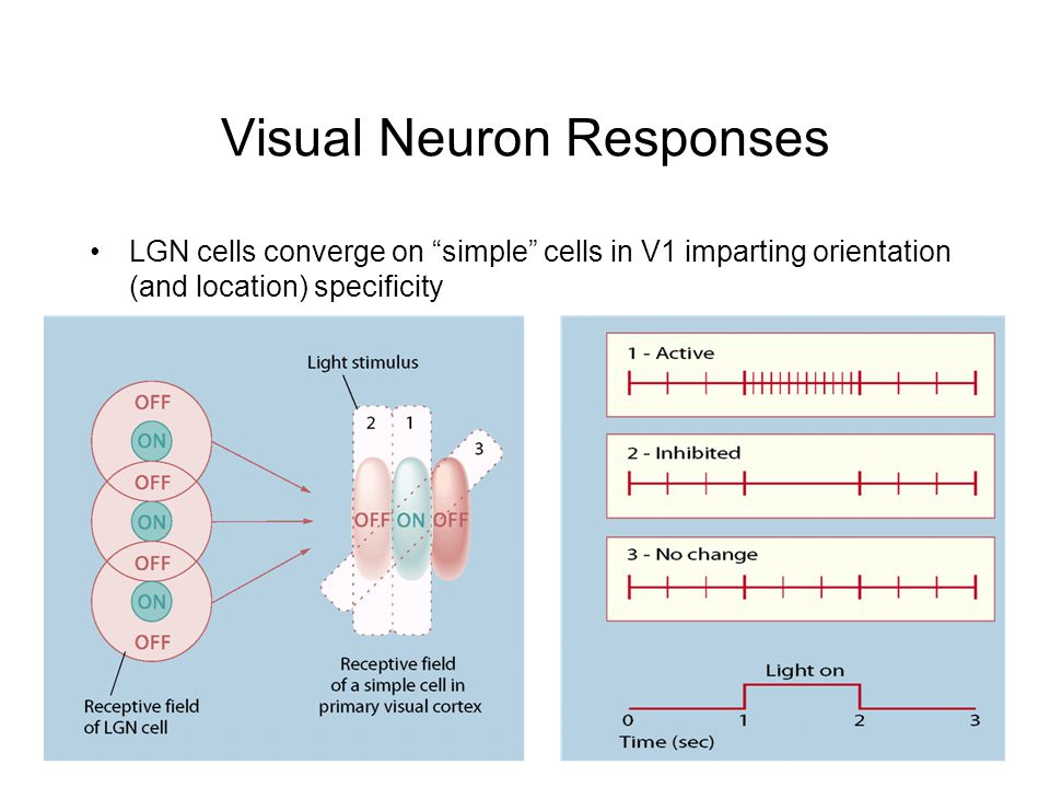 Visual Neuron Responses LGN cells converge on simple cells in V1 imparting orientation (and location) specificity