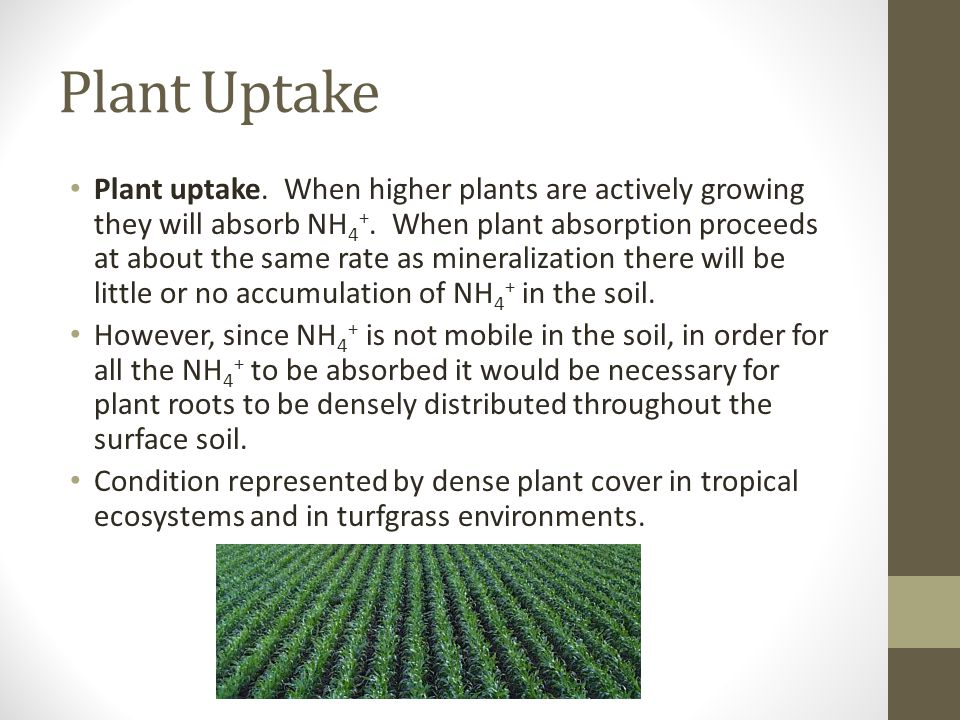 Plant Uptake Plant uptake. When higher plants are actively growing they will absorb NH 4 +. When plant absorption proceeds at about the same rate as m