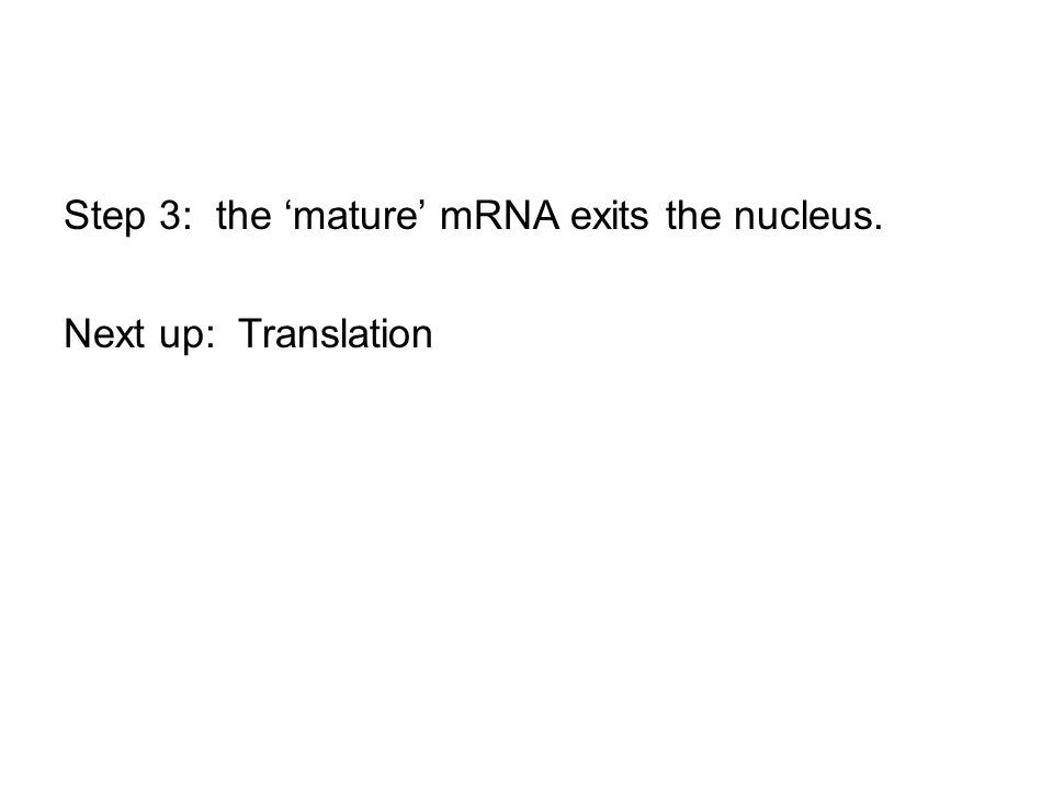 Step 3: the 'mature' mRNA exits the nucleus. Next up: Translation