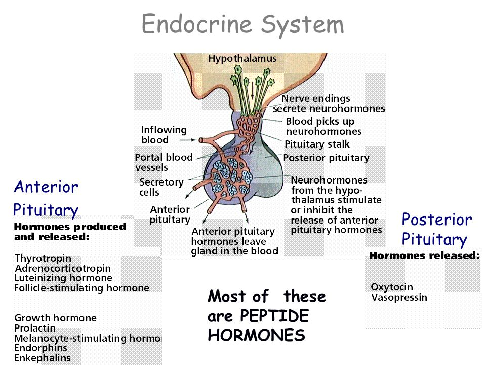 Endocrine System Small molecules are released from these glands into the bloodstream where they travel to a distant site and change the pace or architecture of the target tissue.