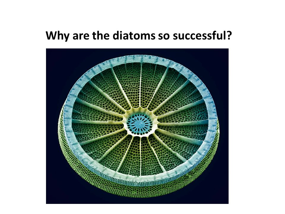 Why are the diatoms so successful?