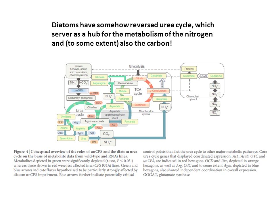 Diatoms have somehow reversed urea cycle, which server as a hub for the metabolism of the nitrogen and (to some extent) also the carbon!