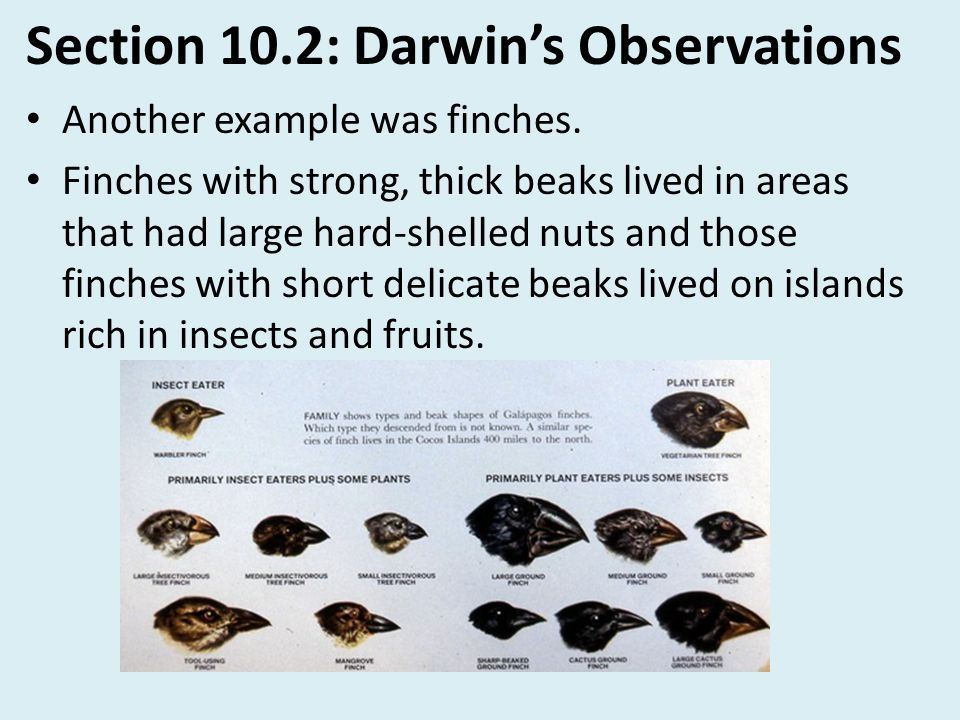Section 10.2: Darwin's Observations Another example was finches. Finches with strong, thick beaks lived in areas that had large hard-shelled nuts and