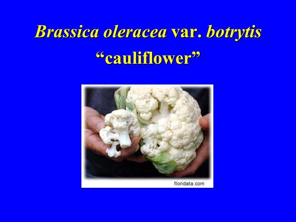 Brassica oleracea var. botrytis cauliflower