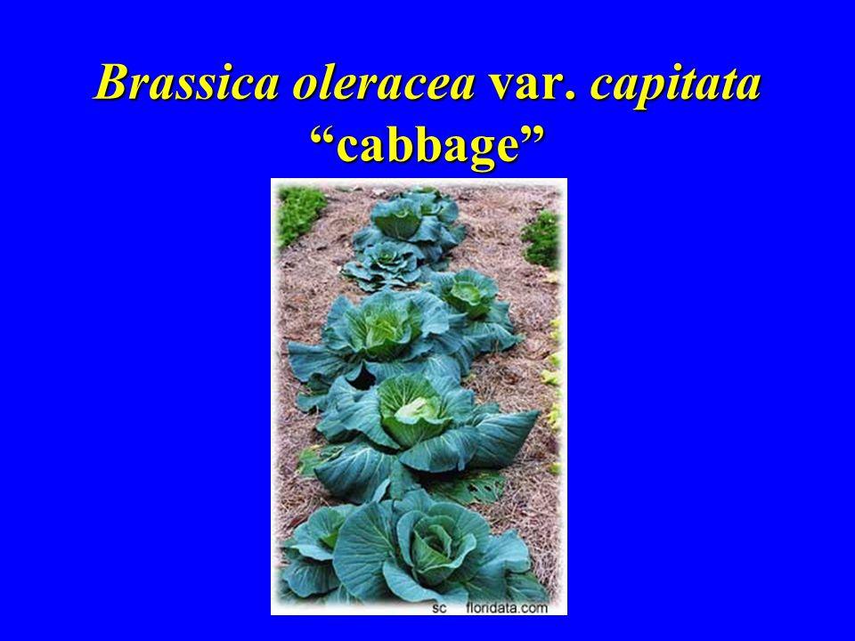Brassica oleracea var. capitata cabbage