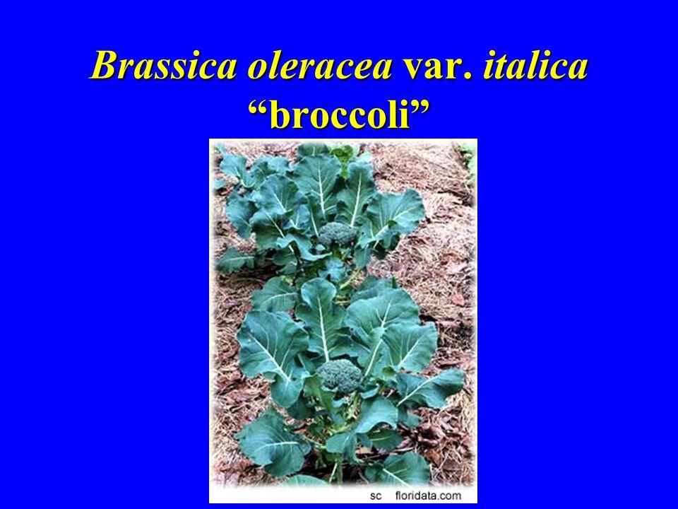 Brassica oleracea var. italica broccoli