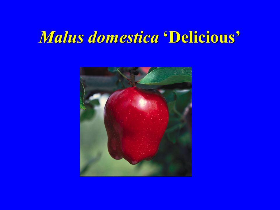Malus domestica 'Delicious'