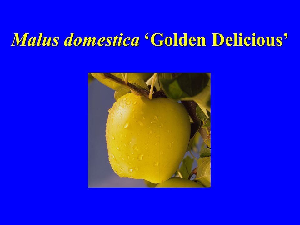 Malus domestica 'Golden Delicious'
