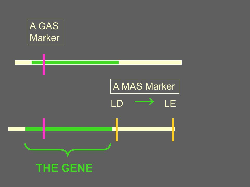 A GAS Marker A MAS Marker LD → LE THE GENE
