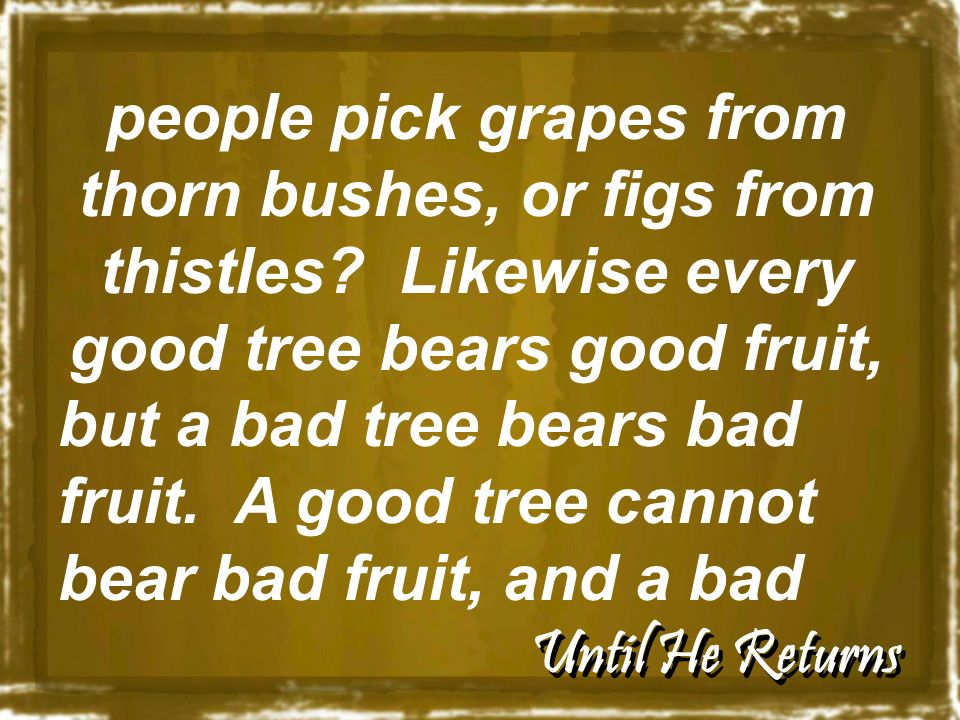 Until He Returns people pick grapes from thorn bushes, or figs from thistles.