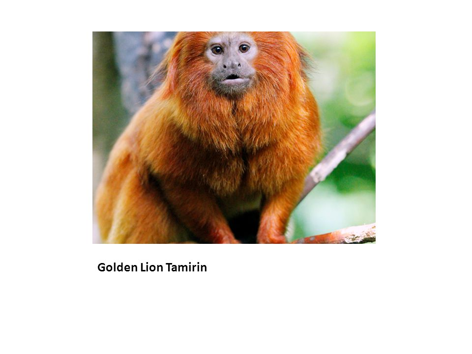 Golden Lion Tamirin