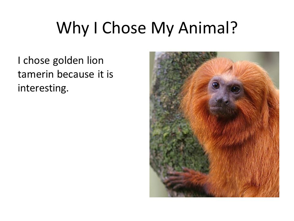 Why I Chose My Animal I chose golden lion tamerin because it is interesting.