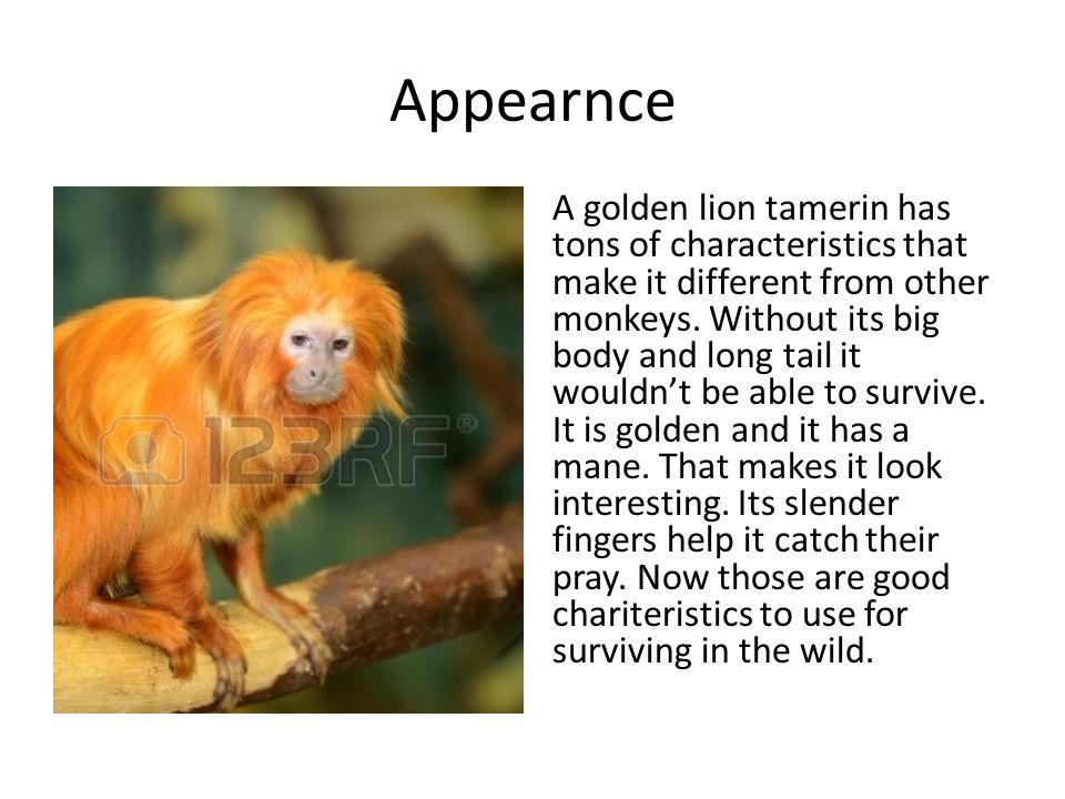 Appearnce A golden lion tamerin has tons of characteristics that make it different from other monkeys.