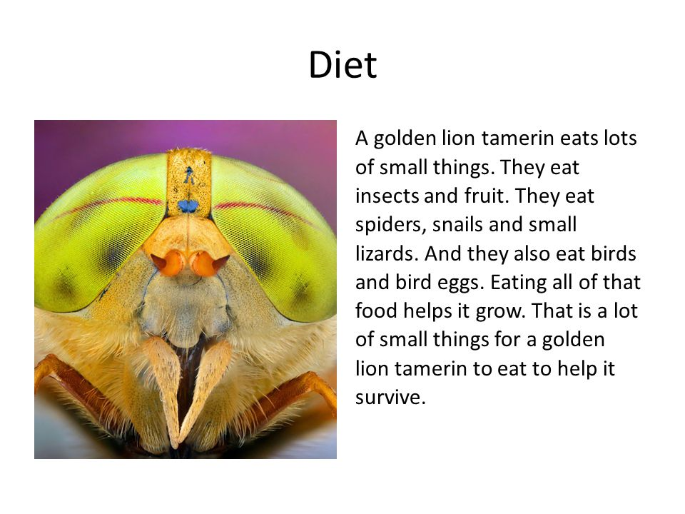Diet A golden lion tamerin eats lots of small things. They eat insects and fruit. They eat spiders, snails and small lizards. And they also eat birds