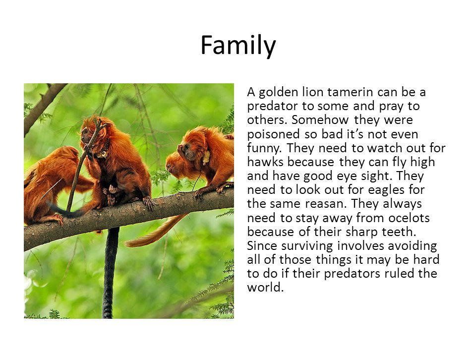 Family A golden lion tamerin can be a predator to some and pray to others. Somehow they were poisoned so bad it's not even funny. They need to watch o