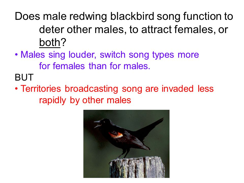 Does male redwing blackbird song function to deter other males, to attract females, or both? Males sing louder, switch song types more for females tha