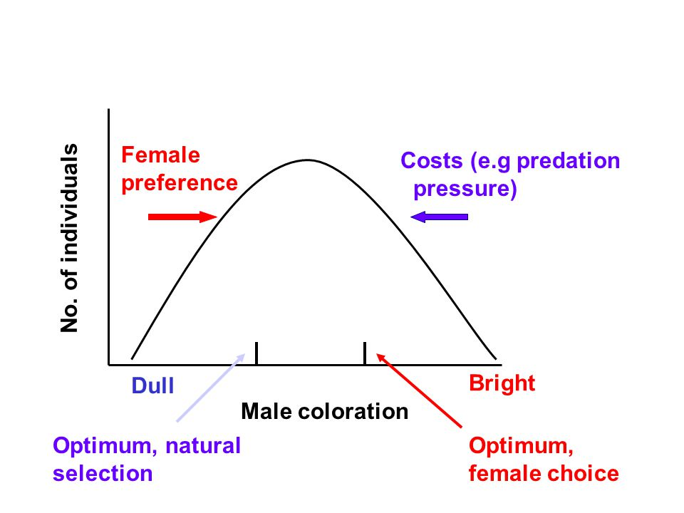 Female preference Dull Bright Male coloration No. of individuals Optimum, natural selection Optimum, female choice Costs (e.g predation pressure)