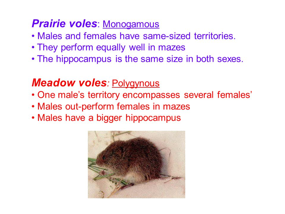 Prairie voles : Monogamous Males and females have same-sized territories. They perform equally well in mazes The hippocampus is the same size in both