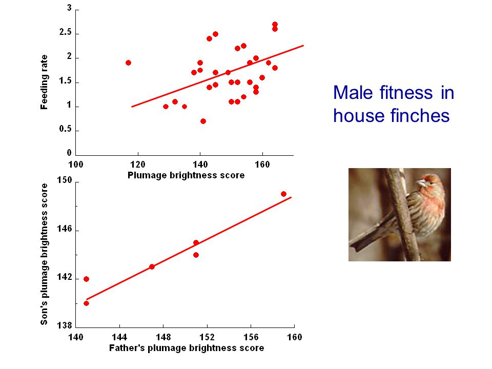 Male fitness in house finches