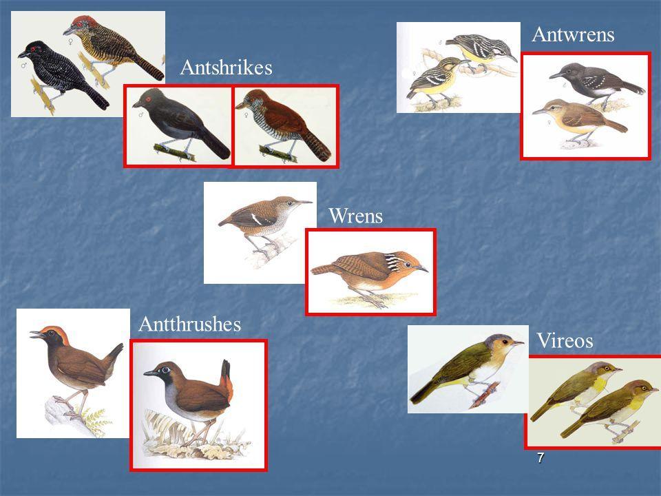 7 Antthrushes Wrens Vireos Antwrens Antshrikes