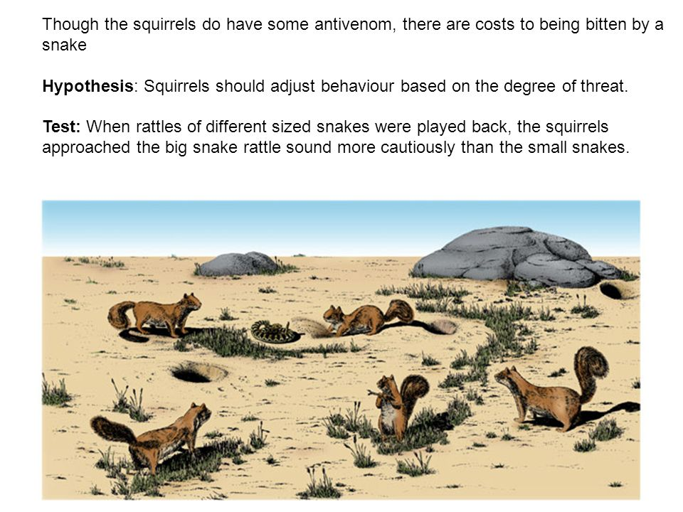 Though the squirrels do have some antivenom, there are costs to being bitten by a snake Hypothesis: Squirrels should adjust behaviour based on the deg