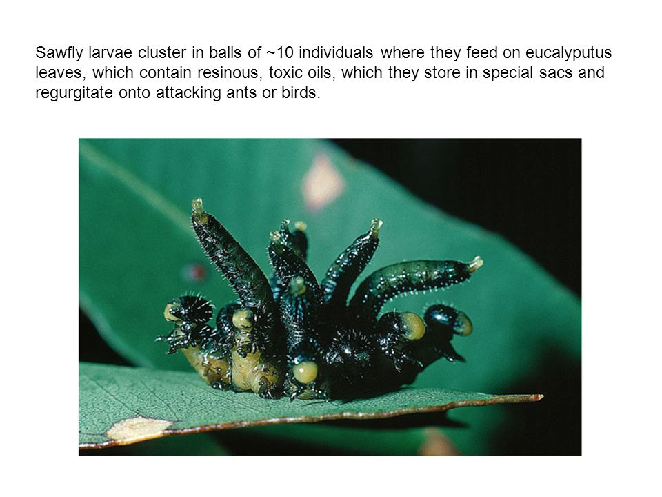 Sawfly larvae cluster in balls of ~10 individuals where they feed on eucalyputus leaves, which contain resinous, toxic oils, which they store in special sacs and regurgitate onto attacking ants or birds.