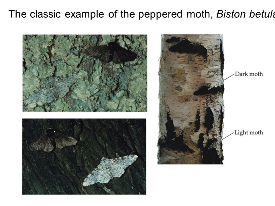 The classic example of the peppered moth, Biston betularia