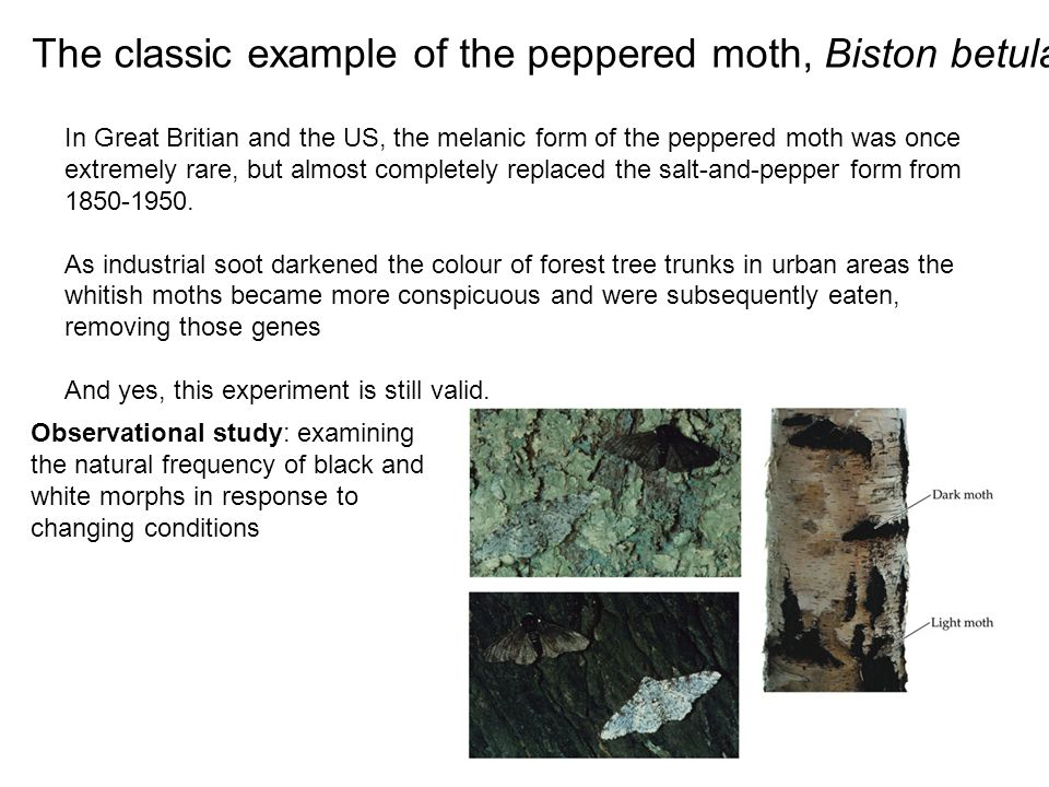 In Great Britian and the US, the melanic form of the peppered moth was once extremely rare, but almost completely replaced the salt-and-pepper form fr