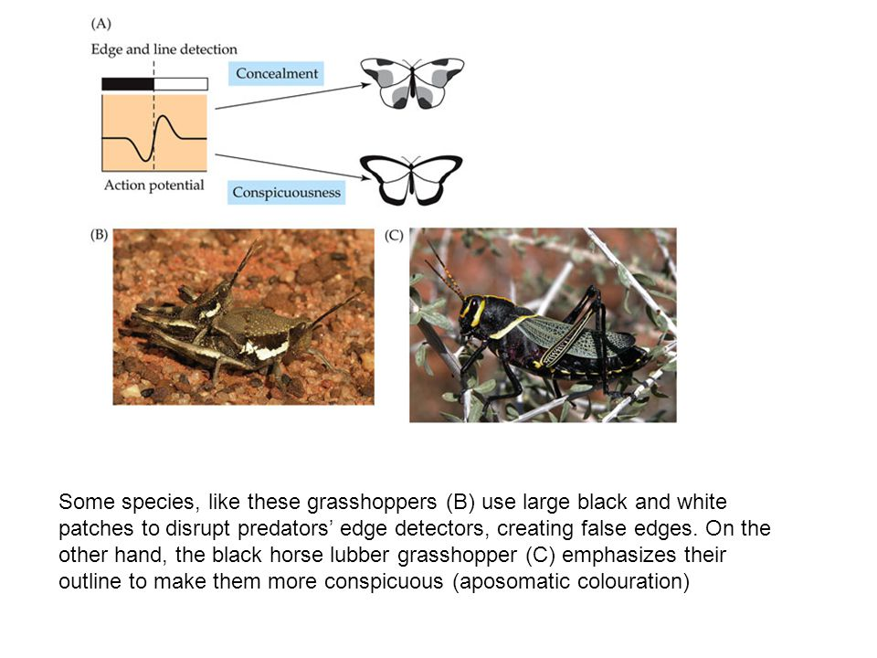 Some species, like these grasshoppers (B) use large black and white patches to disrupt predators' edge detectors, creating false edges. On the other h